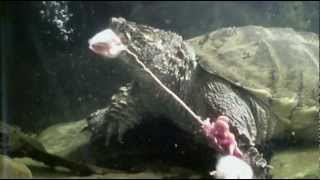 Snapping Turtle Eats 3 Adult Mice
