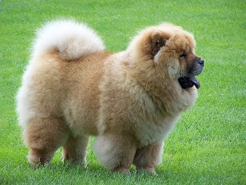 cute chow chow puffy lion dog video