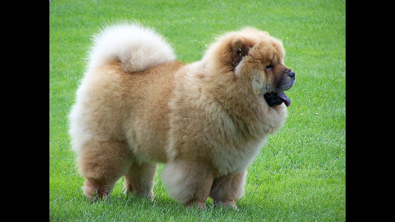 Top Fluffy Brown Adorable Dog - maxresdefault  Graphic_795100  .jpg