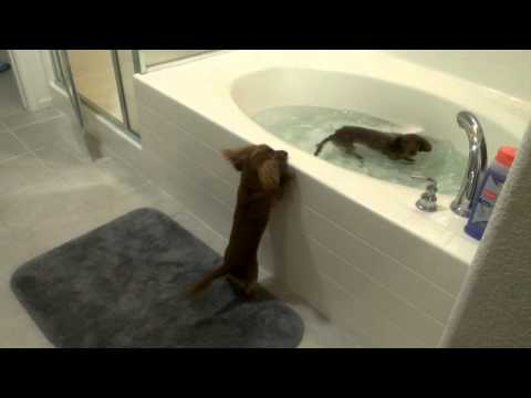 Mini Dachshund bath time