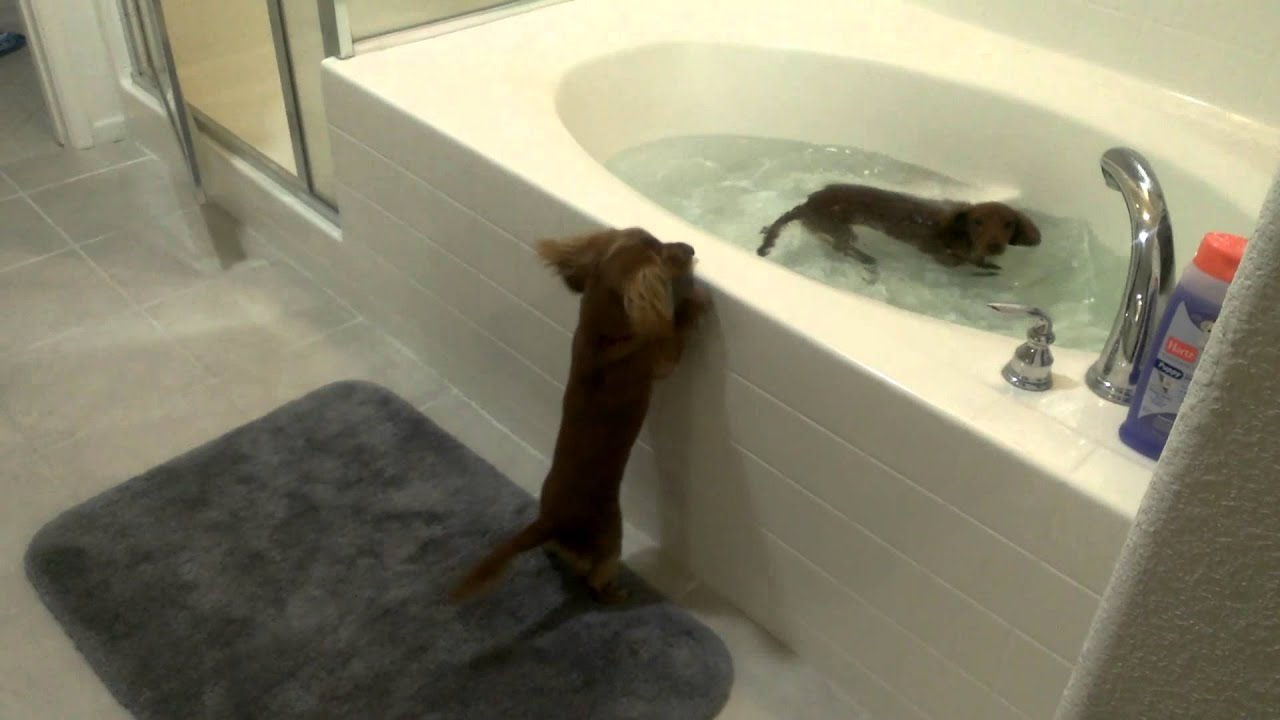 Mini Dachshund Bath Time   YouTube