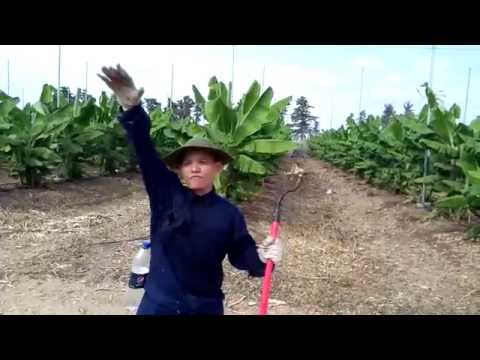 Israel - AgroStudies - Working At Kibbutz Ein Carmel _ Banana 01