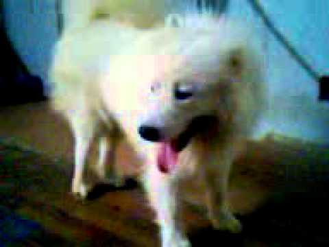 chú chó siêu đẹp của đoàn xiếc thú LHL