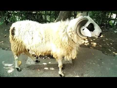Cara Ternak Domba Garut -  Kontes Kambing dan Domba Garut