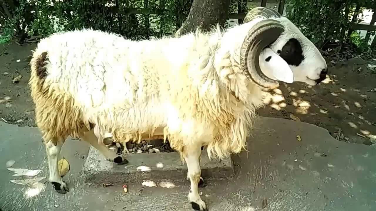 Cara Ternak Domba Garut Kontes Kambing Dan Domba Garut Youtube