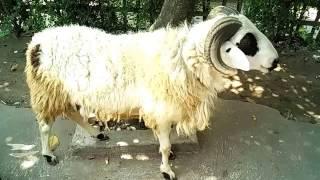 Video Cara Ternak Domba Garut -  Kontes Kambing dan Domba Garut download MP3, 3GP, MP4, WEBM, AVI, FLV Agustus 2017