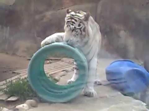 Hổ trắng - thú quý hiếm - cực dễ thương