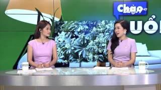 (VTC14)_Hà Nội chưa có kế hoạch thay thế cây hoa sữa