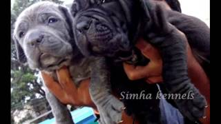 Neo mastiff breeders in INDIA - Simha kennels Bangalore