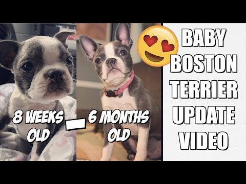 Baby Boston Terrier puppy 8 weeks old to 6 months old UPDATE