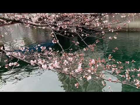 東京娘  桜たまこ cover