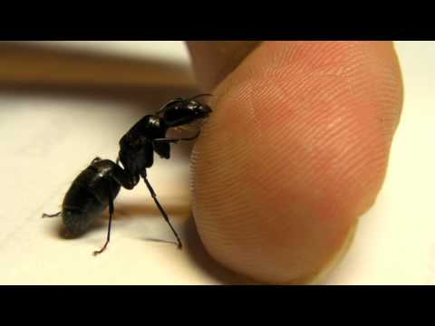 Queen black carpenter ant lapping up sweat