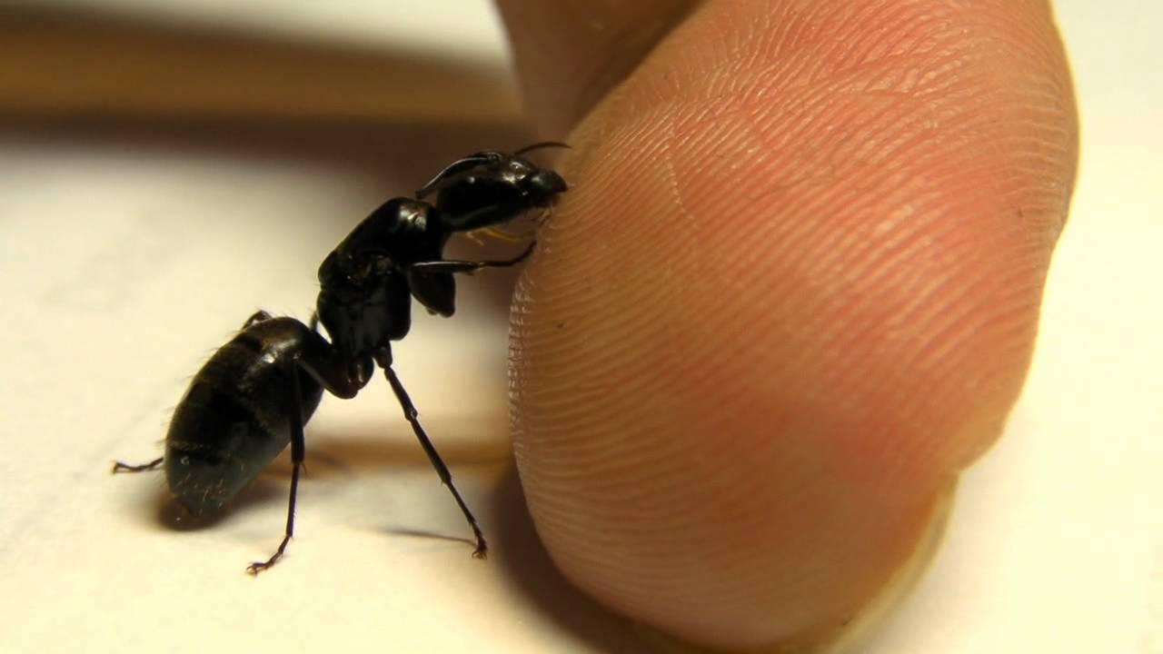 do black ants bite - 1280×720