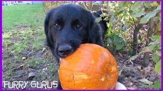 Dog Vs Pumpkin   Golden Retriever - Border Collie Mix