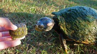 Baby Turtles Meet the Big Turtles!