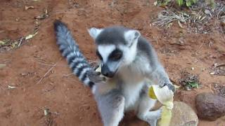 Кольцехвостые лемуры на Мадагаскаре