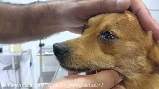 A dog crying due to feeling emotional