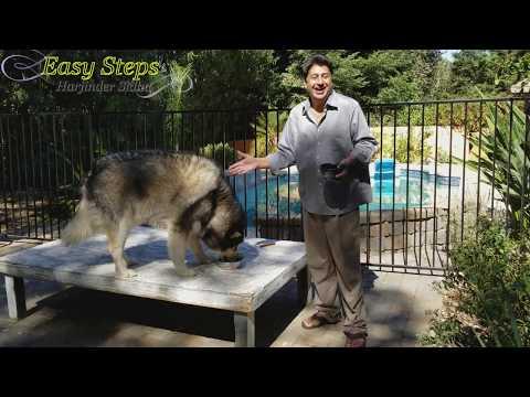 Sheru Wants Me To Share Breakfast Cereal   Alaskan Malamute & German Shepherd   White Dog