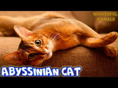 Abyssinian cat dances fun and eats cucumber / Compilation