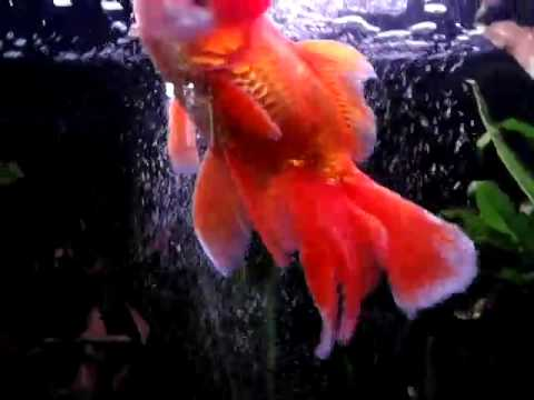 acquario con pesci rossi colorati testa di leone youtube