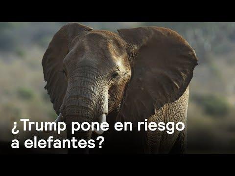 EE.UU. levanta prohibición de importar restos de elefantes cazados en África - Despierta con Loret