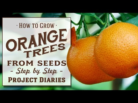 ★ How to: Grow Orange Trees from Seed (A Complete Step by St