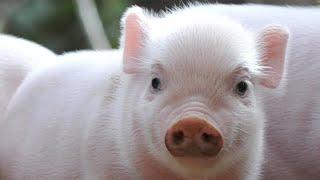 Свиньи - интересные факты