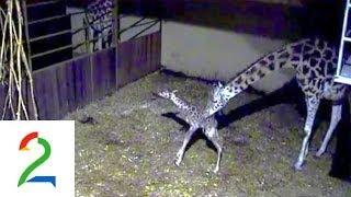 Unike bilder av giraffødsel! Giraffe birth at Kristiansand Zoo