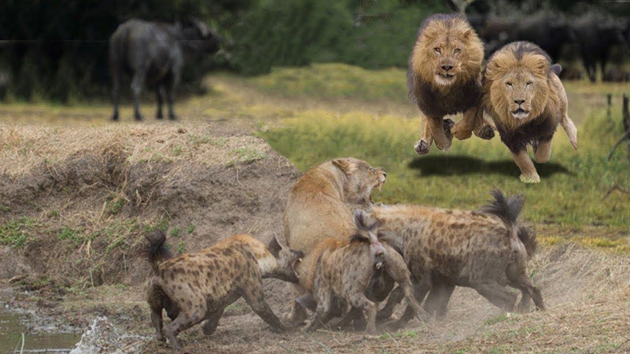 насаживают жопы саванна львы охота видео тут