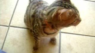 "Bengel kitten doing sit, high five, go around、and ""BANZAI""..! 子猫..."