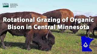 Rotational Grazing of Organic Bison in Central Minnesota