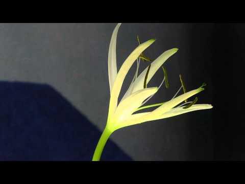 Распускается цветок Кринума волнистого (Crinum calamistratum)