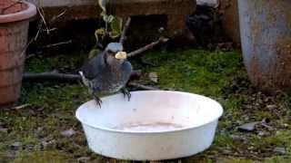サッポロポテトバーベキュー味を食べる2羽のヒヨドリです。 そのままで...