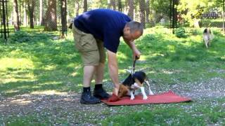 Dog training OKD. Teaching the beagle puppy the command