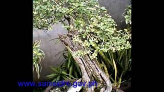 Bonsai collection in the Bonsai Capital of The Philippines