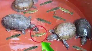 Dándole peces vivos a mis tortugas !! - alimento de tortuga