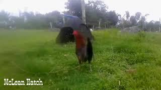 Download Mclean Hatch Gamefowl Gallina Mclean Hatch Gallos