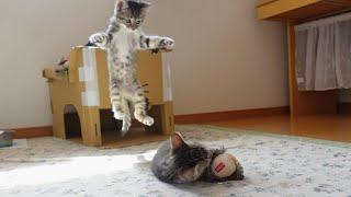 【生後51日】新しいおもちゃを見た子猫の反応がこちらです