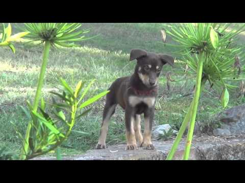 Kelpie ~ Pure Bred Red and Tan 2014 Litter