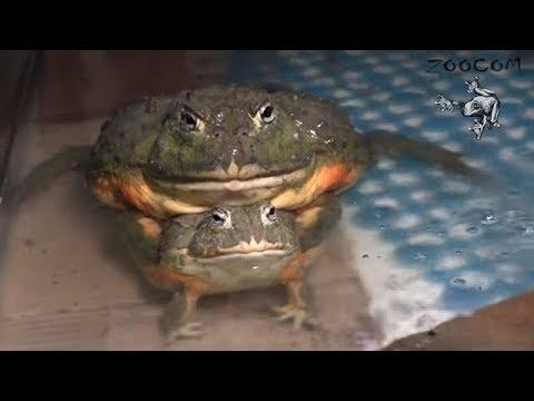 Как размножаются жабы