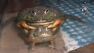Лягушки-водоносы. Размножение в ручном режиме!