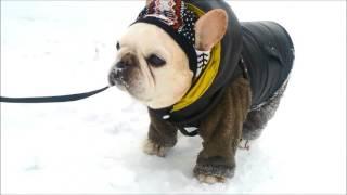 フレブルの老犬タロウ13歳です。 Facebook: https://www.facebook.com/n...