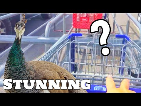 You're Not Going To Believe Where Our New Peacock Went?! (Shopping?)