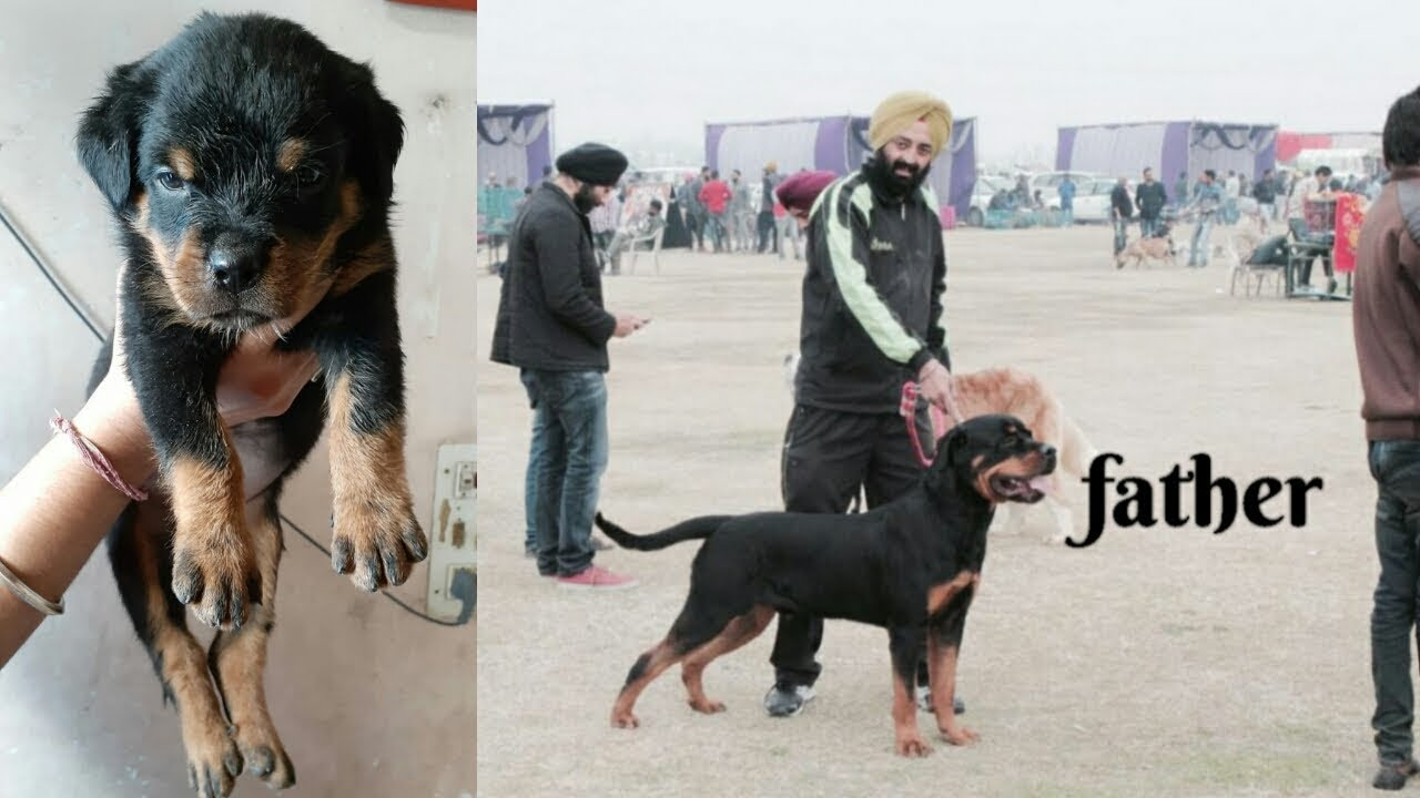 Rottweiler Puppy For Sale In Punjab Father Is Champion Youtube