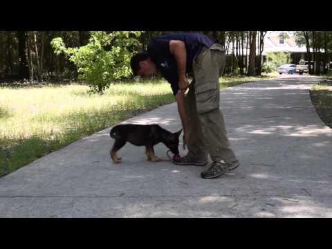 Ibis - German Shepherd Puppy For Sale