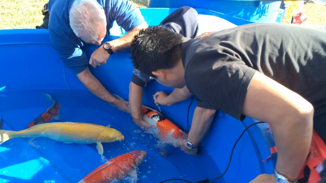 Perth koi fish show with dr loh fish veterinarian youtube for The fish doctor