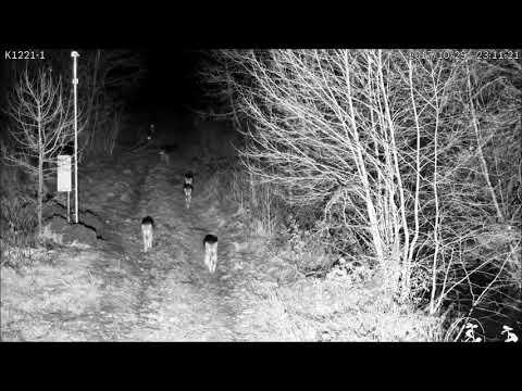 Видеофакт: вдоль границы Беларуси и Литвы по ночам ходят волки...