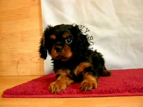 Cavalier Puppies From Brookglen Farm
