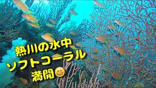 熱川水中にはソフトコーラルが満開【東伊豆 熱川】熱川ダイビングサービス