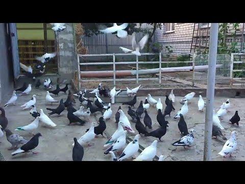 Про Армянских голубей. ЧАСТЬ-2